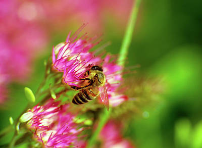Honey Bee Lands Art Print