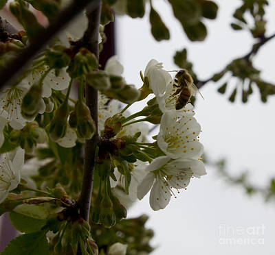 Photograph - Honey Bee On Blooms by Donna Munro