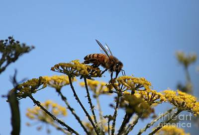 Photograph - Honey Bee On Fennel by Erica Hanel