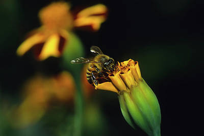 Photograph - Honey Bee On Flower by John Brink