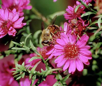 Photograph - Honey Bee On Magenta by John Brink