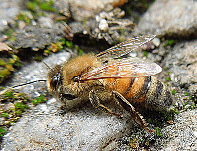 Art Print featuring the photograph Honey Bee On Rocks by Renee Trenholm