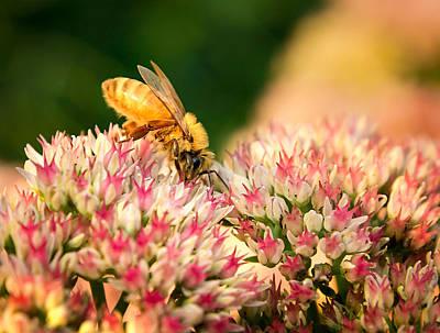 Photograph - Honey Bee On Sedum by Bill Pevlor