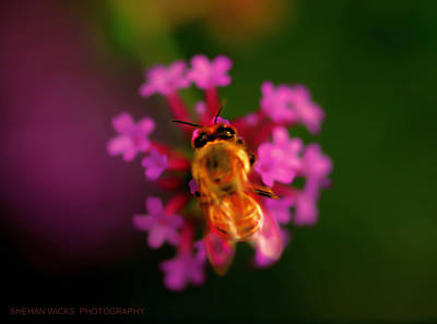 Photograph - Honey Bee by Shehan Wicks