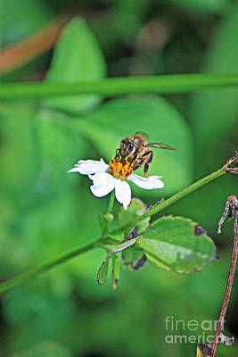 Photograph - Honey Bee by Terri Mills