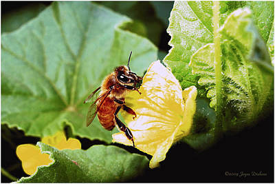 Photograph - Honeybee And Cantalope by Joyce Dickens