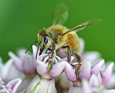 Photograph - Honeybee by Rodney Campbell
