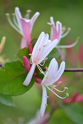 Print featuring the photograph Honeysuckle by JD Grimes