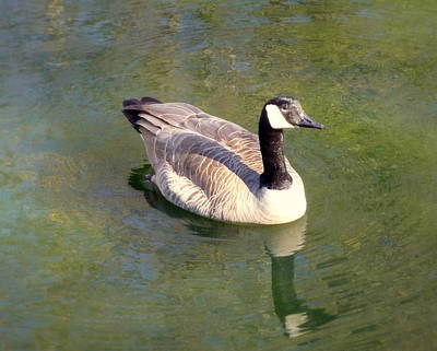 Photograph - Honker Reflections by Cindy Wright