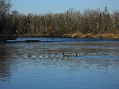 Photograph - Honkers Swimming In The River by Kent Lorentzen