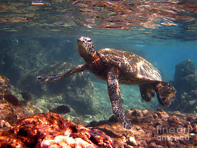 Hawaiian Green Sea Turtle Photograph - Honu In The Shallows by Bette Phelan