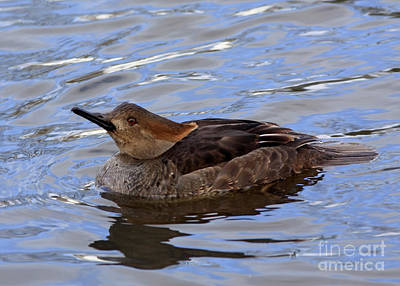 Hood Merganser Visits The Stream At Twilight Art Print by Inspired Nature Photography Fine Art Photography