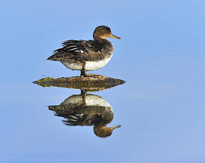 Hollywood Style - Hooded Merganser Reflection by Tony Beck