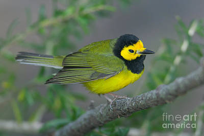 Photograph - Hooded Warbler by Clarence Holmes