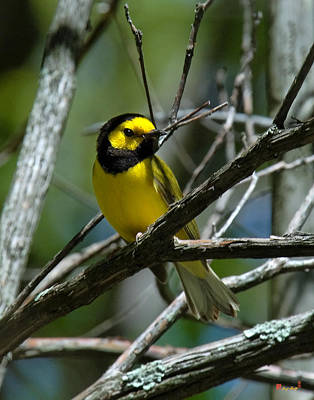Photograph - Hooded Warbler Dsb166  by Gerry Gantt