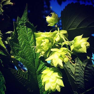 Hop Photograph - #hops In The Backyard Are Just About by Stephen Harrison