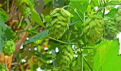 Hops Vine Leaf And Seed Cones Art Print