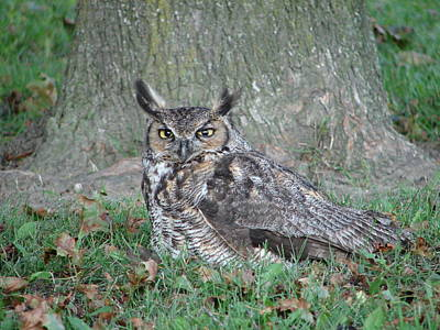 Photograph - Horned Owl by Randy J Heath