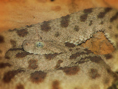 Photograph - Horned Viper by Scott Hovind