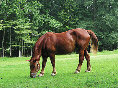 Photograph - Horse Grazing In Field by Susan Savad