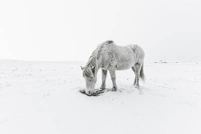 Clear Sky Photograph - Horse Grazing In Snow by Ingólfur Bjargmundsson