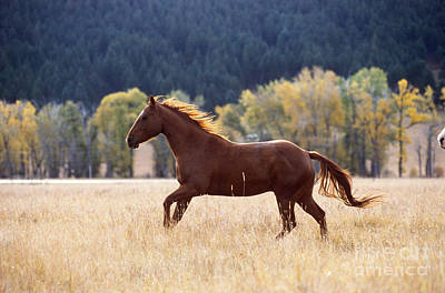 Horse Running Art Print by Alan and Sandy Carey and Photo Researchers