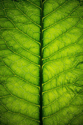 Royalty-Free and Rights-Managed Images - Horseradish Leaf by Steve Gadomski