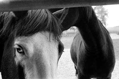 Photograph - Horses True Bw by Katherine Huck Fernie Howard