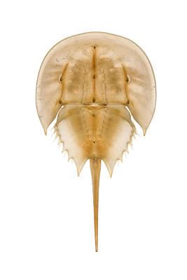 Limulus Polyphemus Photograph - Horseshoe Crab Shed Skin Delaware by Piotr Naskrecki