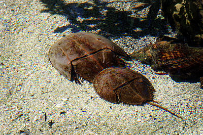 Photograph - Horseshoe Crabs by Anthony Jones
