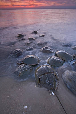 Limulus Polyphemus Photograph - Horseshoe Crabs Crawling Ashore New by Piotr Naskrecki
