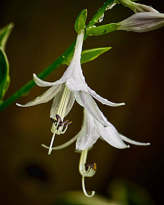 Hosta Bells Art Print by Michael Putnam