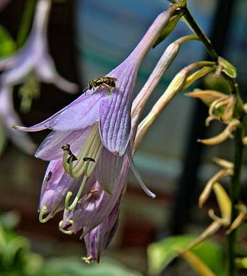 Photograph - Hosta Bloom And Bee by Tom Culver