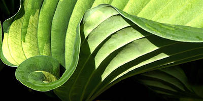 Photograph - Hosta Leaf by Francesa Miller