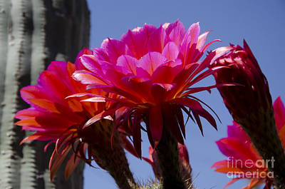 Photograph - Hot Pink Cactus Flowers by Jim And Emily Bush