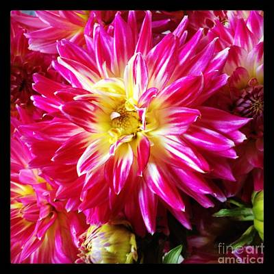 Hot Pink Dahlias Art Print by Ruby Hummersmith