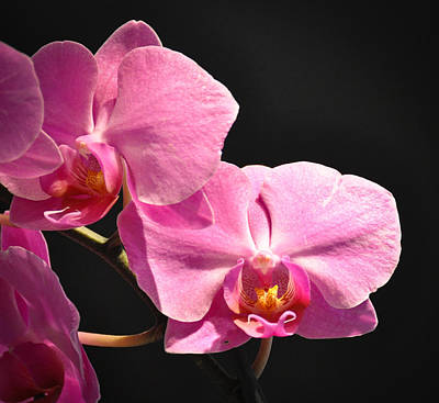 Art Print featuring the photograph Hot Pink Orchids by Ronda Broatch