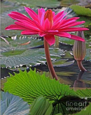 Hot Pink Waterlily Art Print by Larry Nieland