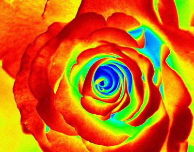 Hot Rose Art Print