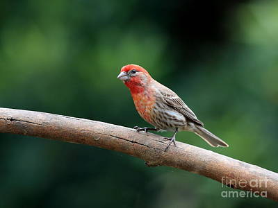 Photograph - House Finch Bird . 40d7316 by Wingsdomain Art and Photography
