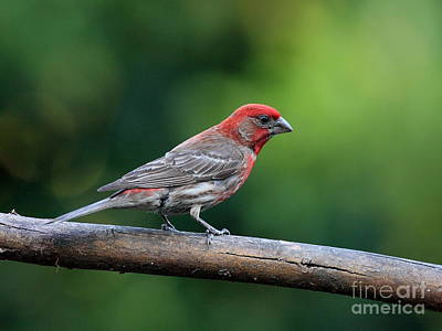 Photograph - House Finch Bird . 40d8331 by Wingsdomain Art and Photography