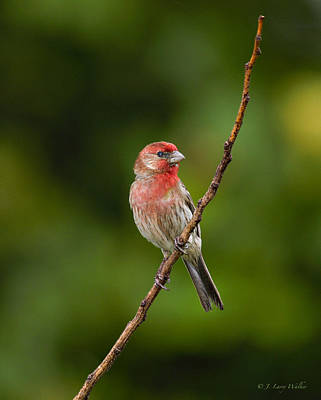 House Finch Stare Art Print