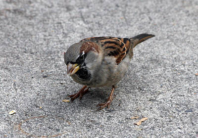 Photograph - House Sparrow - 0001 by S and S Photo