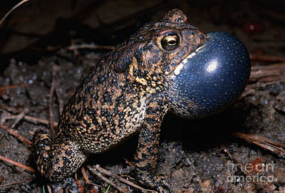 Bufonidae Photograph - Houston Toad by Dante Fenolio
