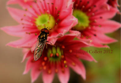 Hover Fly II Art Print by Jacqui Collett