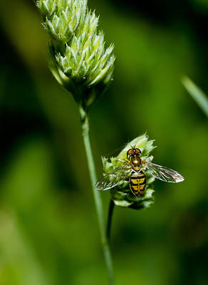 Hoverfly On Grass Art Print by Lori Coleman