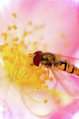 Stamen Photograph - Hoverfly On Pink by Kelly Sillaste