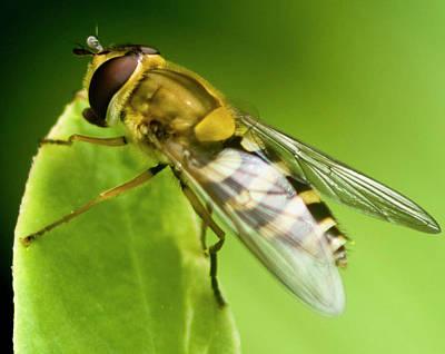 Photograph - Hoverfly by Rob Hemphill