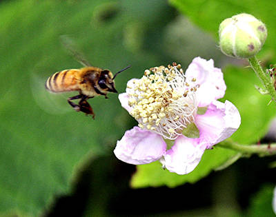 Staff Picks Judy Bernier Rights Managed Images - Hovering Bee Royalty-Free Image by James Stodola