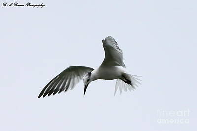 Photograph - Hovering Tern by Barbara Bowen